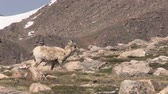 ovelha : Bighorn Sheep Ewe Stock Footage