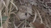 bull : Bull Snake in the Grass Stock Footage
