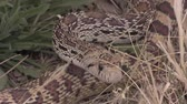 touro : Bull Snake in the Grass Stock Footage