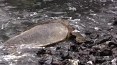 Мауи : Green Sea Turtle on Rocky Maui Beach
