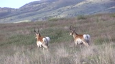 antilop : Pronghorn Antelope Bucks
