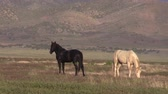 konie : Wild Horses in the Utah Desert in Summer