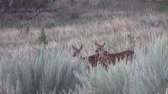 сезон : Whitetail Deer Fawns Стоковые видеозаписи