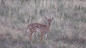 fawn : Whitetail Deer Fawn