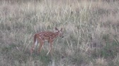a natureza : Whitetail Deer Fawn