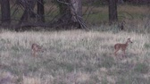 memeli : Whitetail Deer Fawns Stok Video