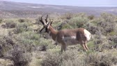 bucks : Pronghorn Antelope Buck