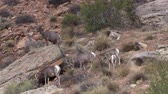 sürü : Desert Bighorn Sheep Herd