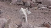vadon : Mountain Goat