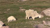 geitjes : Mountain Goat Nanny en Kid Stockvideo
