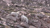 geitjes : Mountain Goat Kids Stockvideo