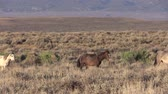 lavagem : Wild Horses in the Colorado Desert Stock Footage