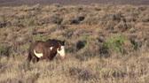 コロラド州 : Wild Horse in the Colorado Desert 動画素材