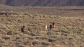 млекопитающие : Wild Horses in the Colorado Desert Стоковые видеозаписи