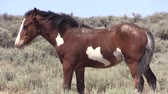 vrijheid : Wild Horse Stockvideo