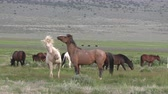 konie : Herd of Wild Horses in the Utah Desert
