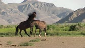 戦い : Wild Horse Stallions Fighting