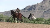 пустыня : Wild Horse Stallions Fighting in the Utah Desert