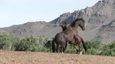 konie : Wild Horse Stallions Fighting in the Utah Desert
