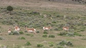 boynuzlu : Pronghorn Antelope Bucks in the Utah Desert Stok Video