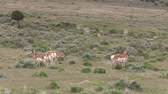 Pronghorn Antelope Bucks in the Utah Desert Stock Footage