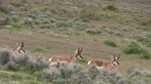 antilop : Pronghorn Antelope Bucks in the Utah Desert Stok Video