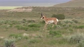 Pronghorn Antelope Buck in the Utah Desert