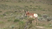 animali : Buck dell'antilope di Pronghorn nel deserto dell'Utah