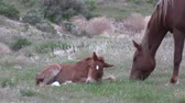 Wild Horse Mare and Foal Stock Footage