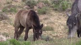 mare : Wild Horse Mare and Foal Stock Footage