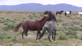 vecht : Wild Horse Stallions Fighting