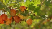 groselha : Large juicy ripe gooseberries growing on organic gooseberry berries bush branch