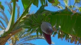 Африка : Close-up of a flower and banana fruit on a tree. From the bottom point, the circular motion of the camera Стоковые видеозаписи