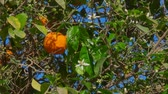 tangerina : Orange flower and ripe orange on a branch of an orange tree