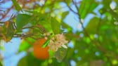 tangerina : Branch with flowers and orange ovaries on the background of ripe oranges on a tree branch close-up Stock Footage