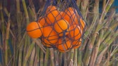 sladidlo : Bundle of sugar cane stems and a net with oranges