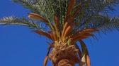 lombhullató : Blooming date palm against the background of a bright blue sky on a sunny day