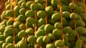plantation : Green fruits of the date palm. Close-up panorama Stock Footage