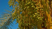 plantation : Green fruits of a date palm on a background of a bright blue sky on a sunny day Stock Footage
