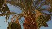 deciduous : Green fruits of the date palm. Panorama Stock Footage