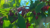 natural drink : Ripe cherry berries hang on the branches of the tree wet after rain. Camera movement around the branches of ripe cherries Stock Footage