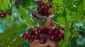 деталь : Close-up of a hand plucking juicy ripe cherries from a tree branch Стоковые видеозаписи