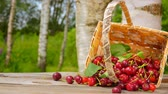 еда и питье : Basket with ripe cherries falls on a wooden table. Berries fall on the table. Slow motion outdoors against birch Стоковые видеозаписи