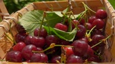 édes : berries of ripe cherries fall in a basket full of cherries. Slow motion outdoors against birch