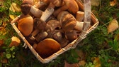 fungos : Female hand puts mushrooms in a beautiful basket