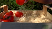 ketçap : Female hand puts ripe juicy red tomatoes in wooden box in accelerated shooting Stok Video