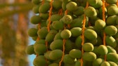 ornamental : Green fruits of the date palm. Close-up panorama Stock Footage