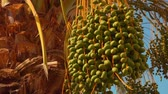 szárak : Closeup of a green fruits of the date palm. From the bottom point, the circular motion of the camera