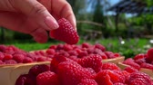 еда и питье : Hand piuts a ripe raspberry in wicker baskets. Slow-motion shooting on an open air against the background of birches