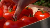 mouillé : Close-up of female hand puts ripe juicy red tomato in wooden box on summer sunny day
